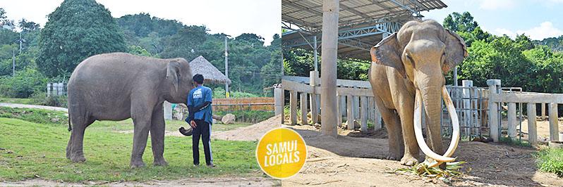 koh_samui_elefanten_auffangstation_geretteter_elefant