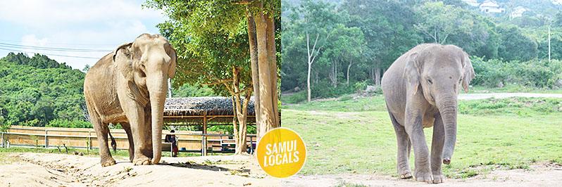 koh_samui_elefanten_auffangstation_umerlaufende_elefanten