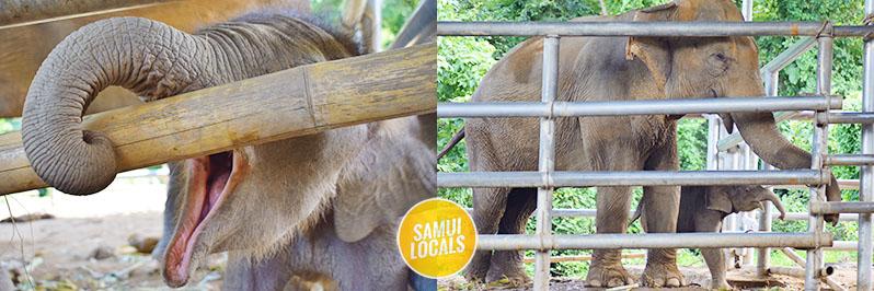 koh_samui_elefanten_auffangstation_mutter_und_baby