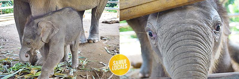 koh_samui_elefanten_auffangstation_baby_elefant